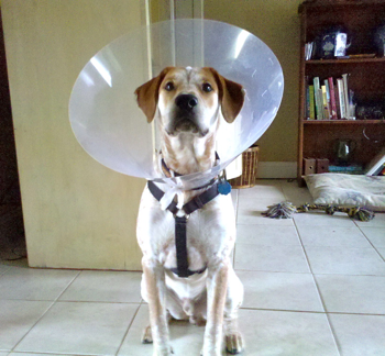 cone for a dog