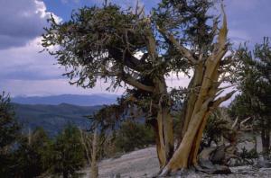 diseased trees