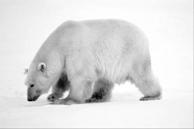 mature bear