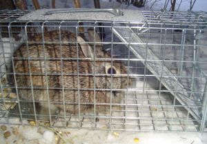 rabbit in a trap